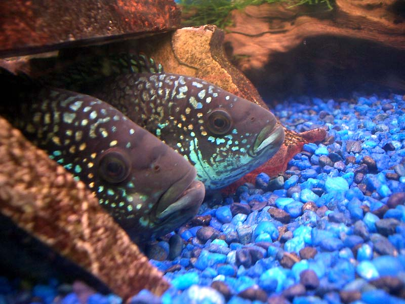 Old tank syndrome lack of proper maintenance for Jack dempsey fish