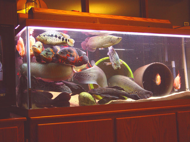 Aquariumpros inc minnesota aquarium maintenance for Large fish tank